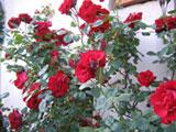Rose - Primavera